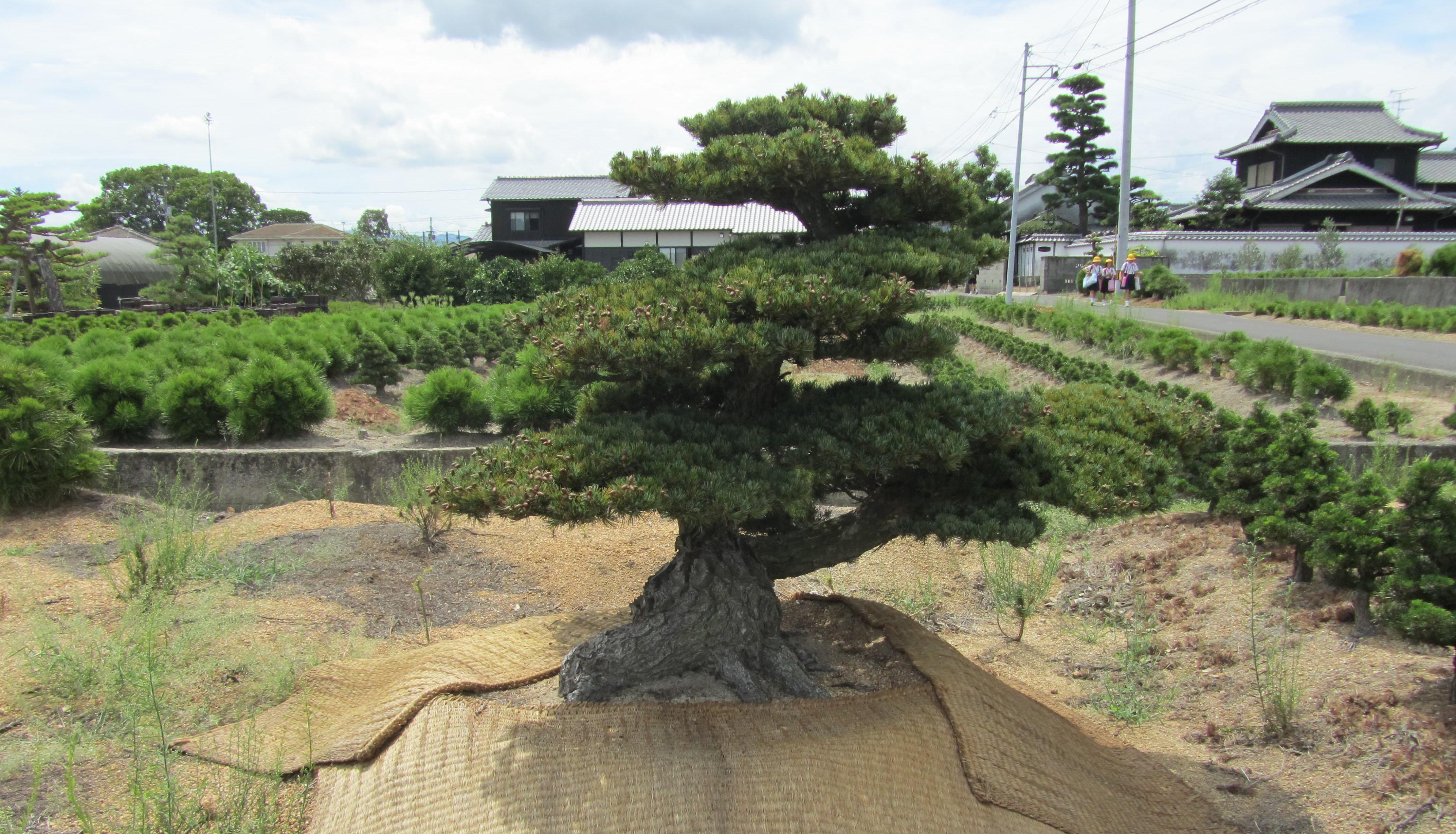 Cultivo en suelo de pinos para bons i blog bonsai - Cultivo de bonsai ...