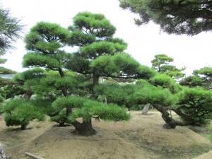 cultivo en suelo de pinos bonsai