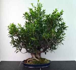 Ficus retusa.  Pendiente de trabajo.