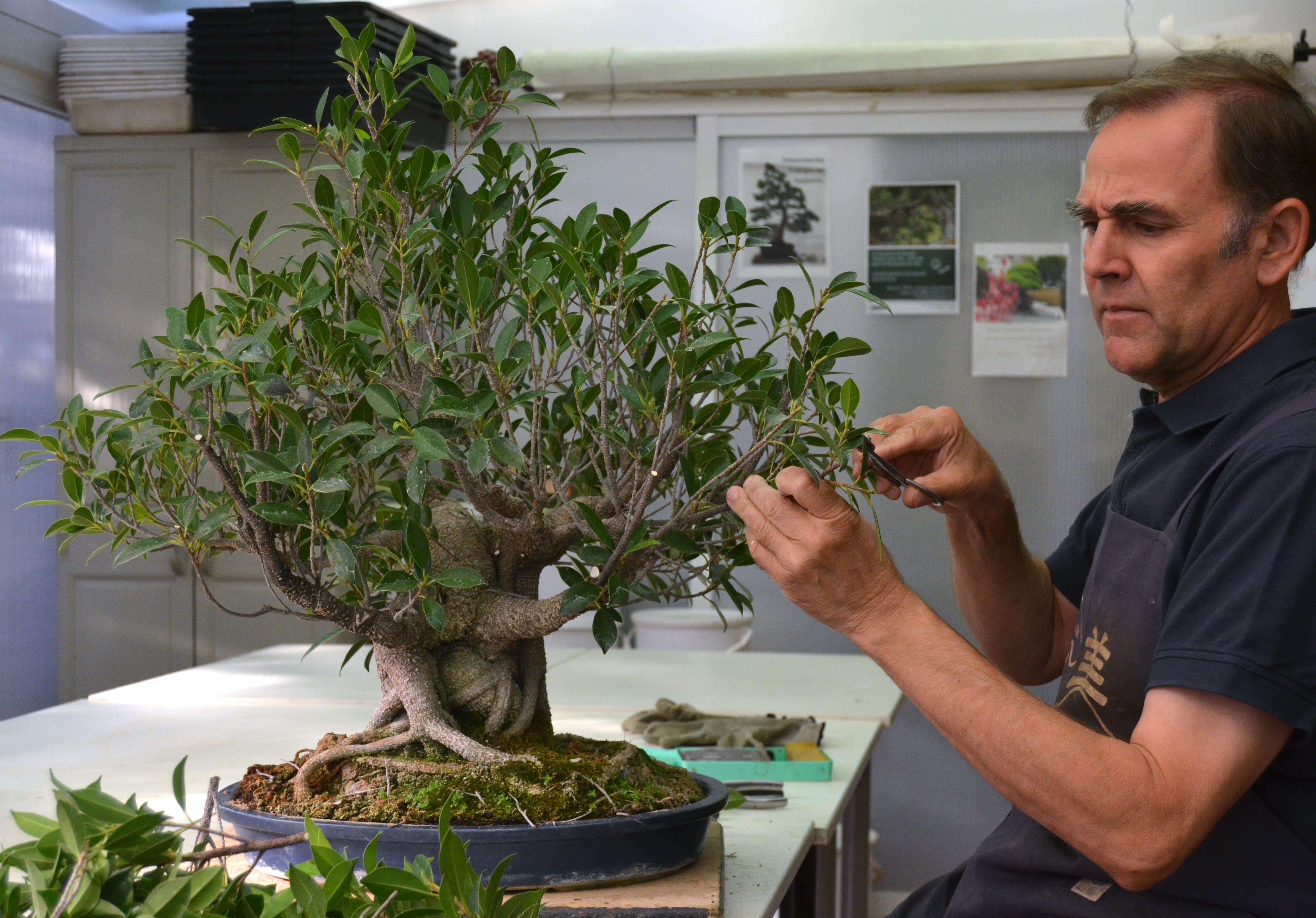 Consecuencias del miedo a la poda en bons i blog bonsai colmenarblog bonsai colmenar - Poda de hortensias epoca ...