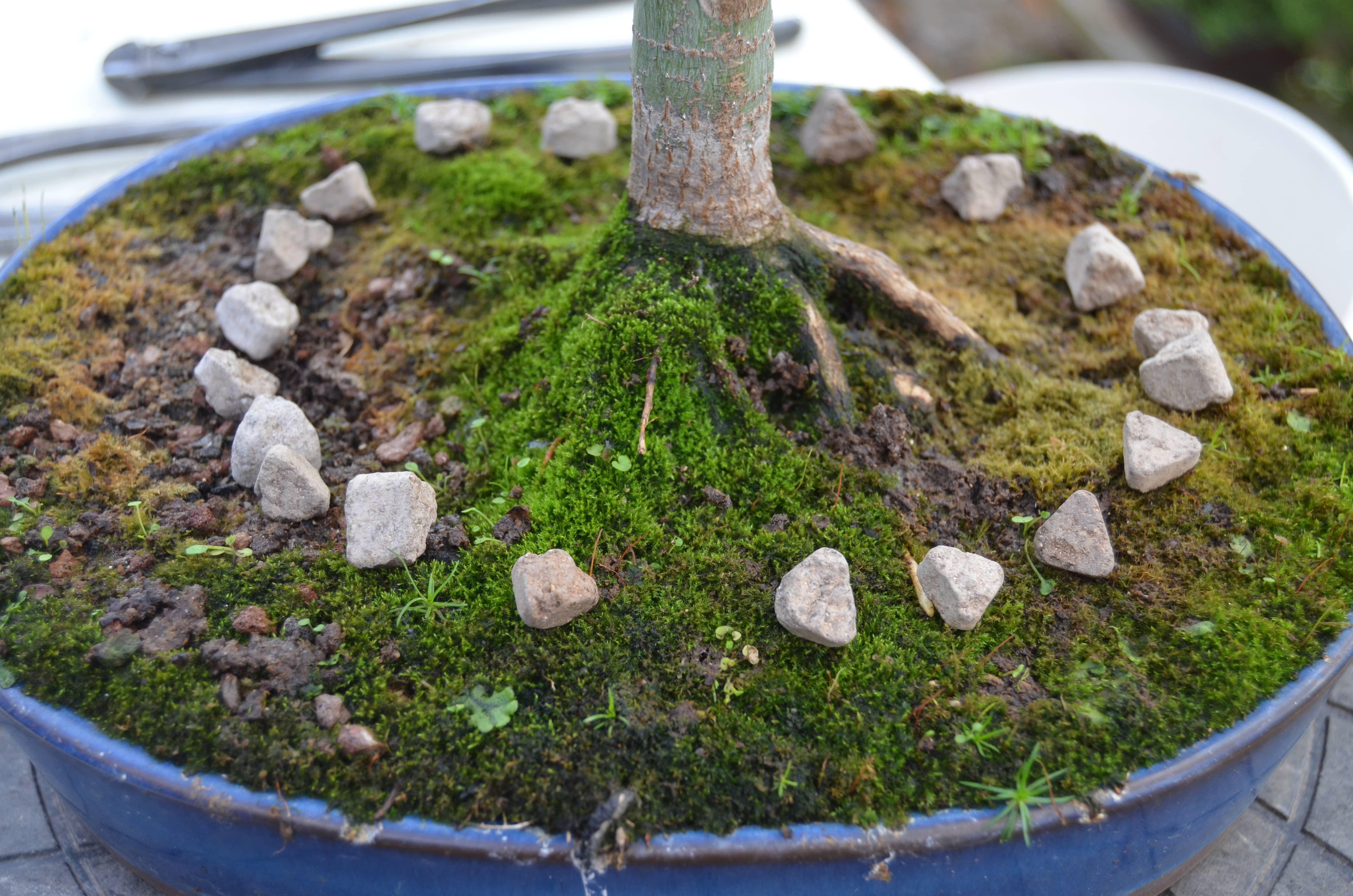 Abono de oto o fundamental en bons i blog bonsai - Abono para magnolios ...