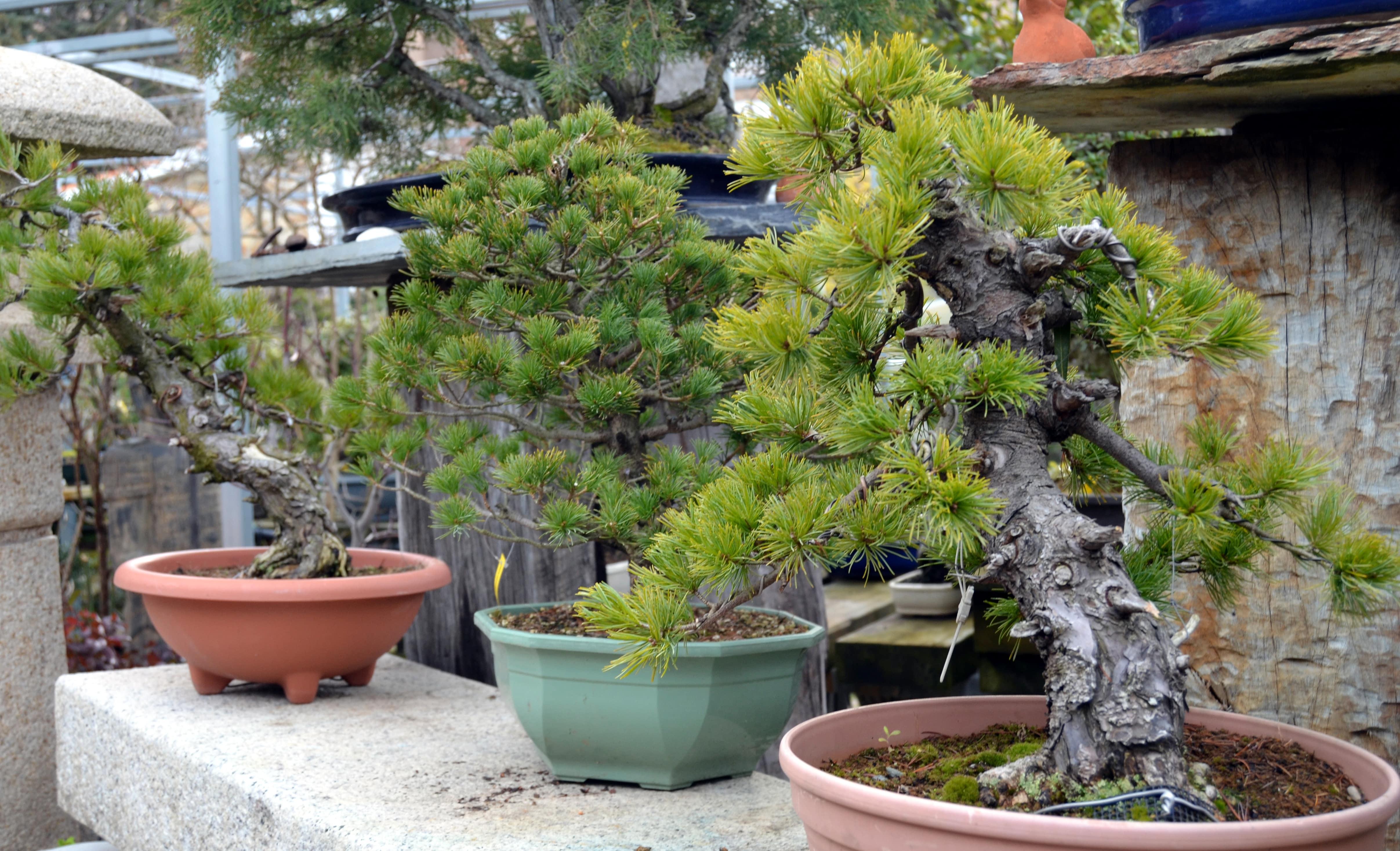C mo seleccionar un prebons i blog bonsai colmenarblog - Cultivo de bonsai ...