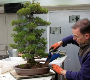 Pinus P Kovonde. Trasplante