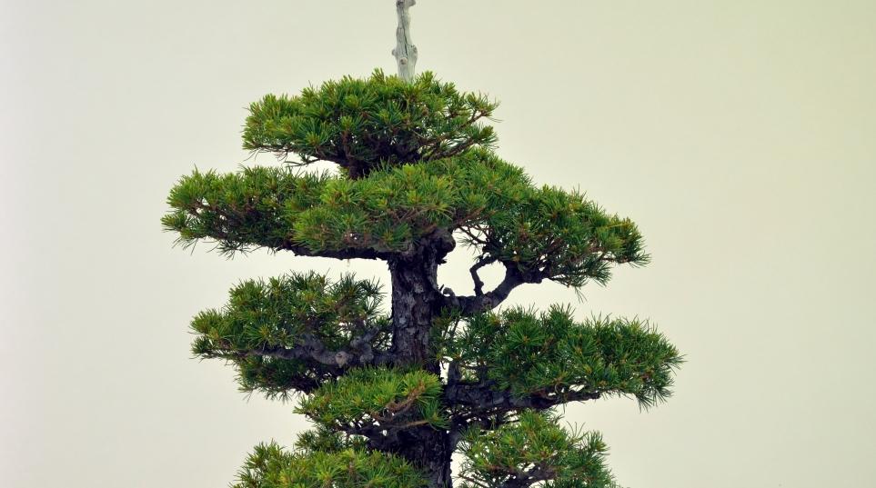 Pinus P Kovonde. Detalle