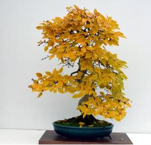 Carpinus coreana