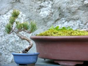 10 cms. Pinus