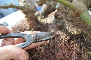 Poda raíces finas