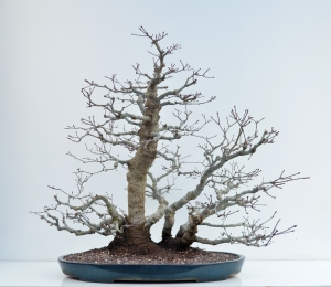 Acer palmatum Beni Chidori