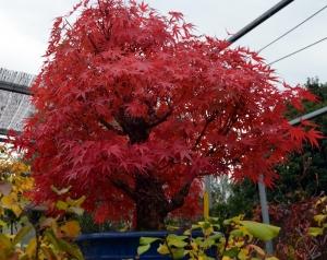 Acer palmatum Arkawa