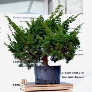 Juníperus chinensis (antes)