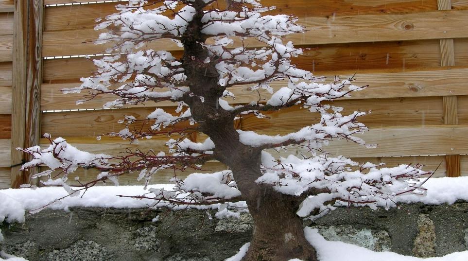 Acer palmatum Yamamomiyi
