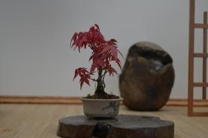 acer palmatum deshojo 13 cms