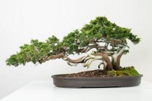 Bonsai 6_0002-min