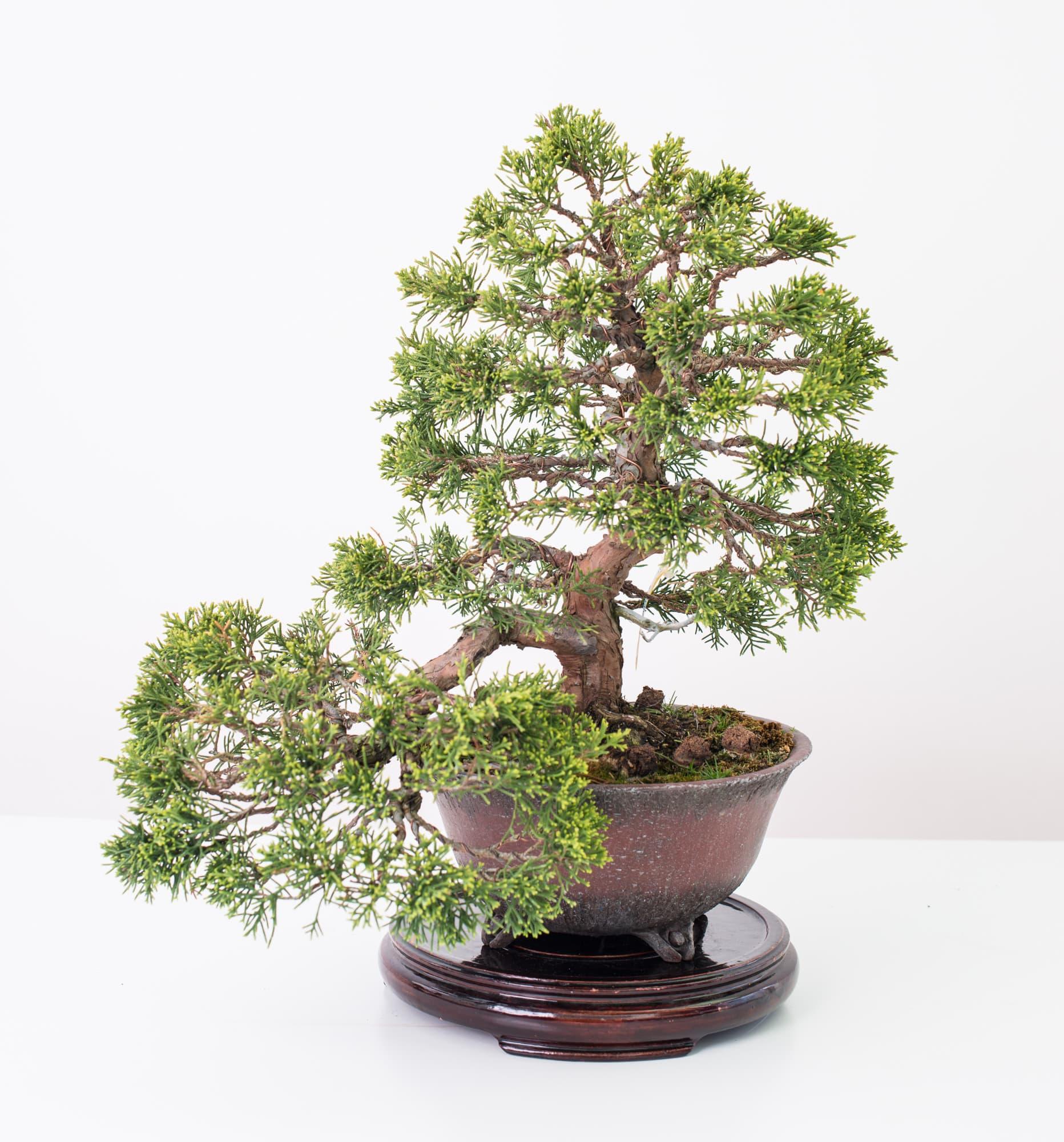 La individualidad del sujeto va m s all de la especie - Cuidado del bonsai ...