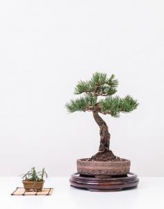 Bonsai 7_0440-min