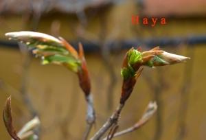 Haya-min