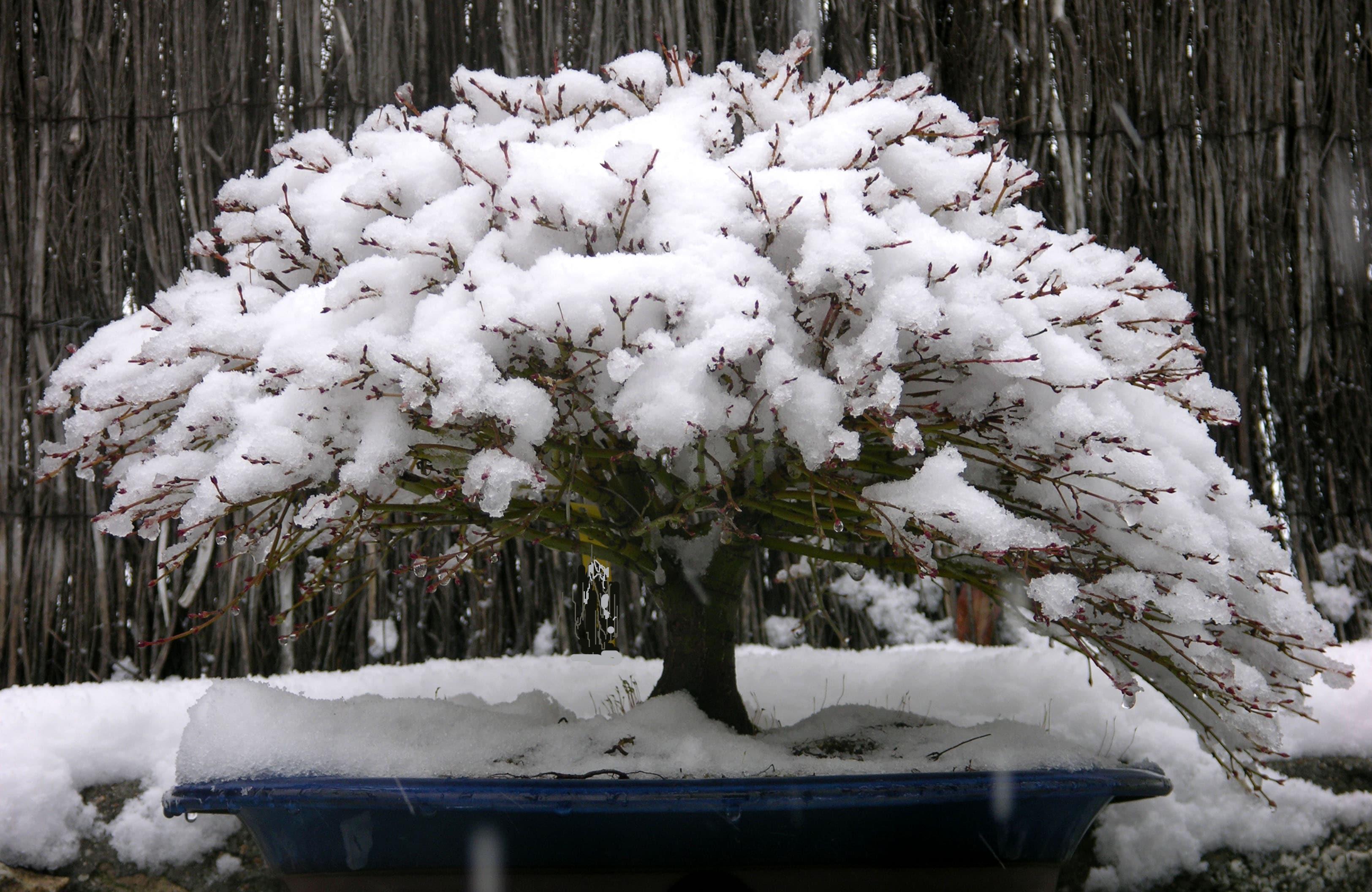 Nieve en el jard n de bons is blog bonsai colmenarblog - Jardin de bonsais ...