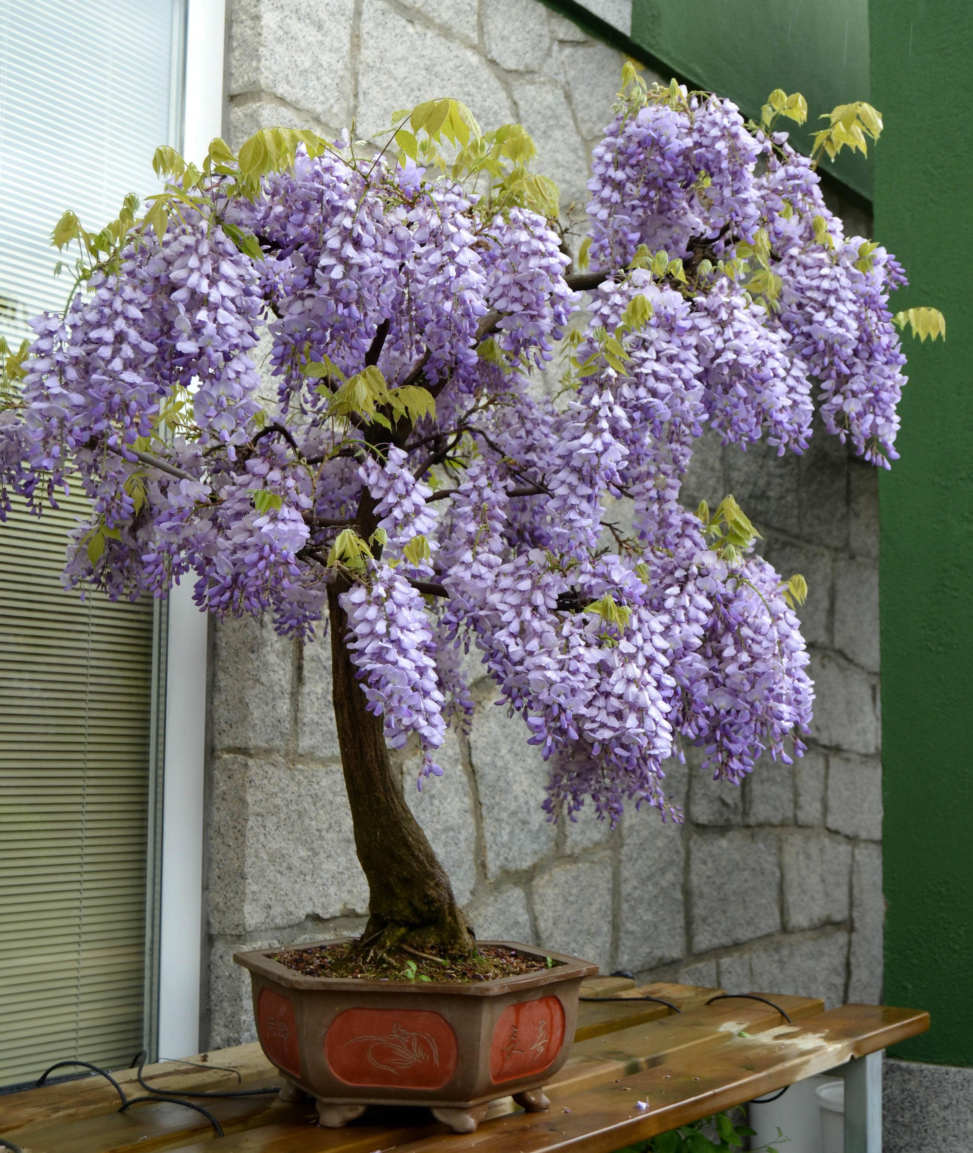Wisteria cultivo como bons i blog bonsai colmenarblog bonsai colmenar - Glicinia en maceta ...