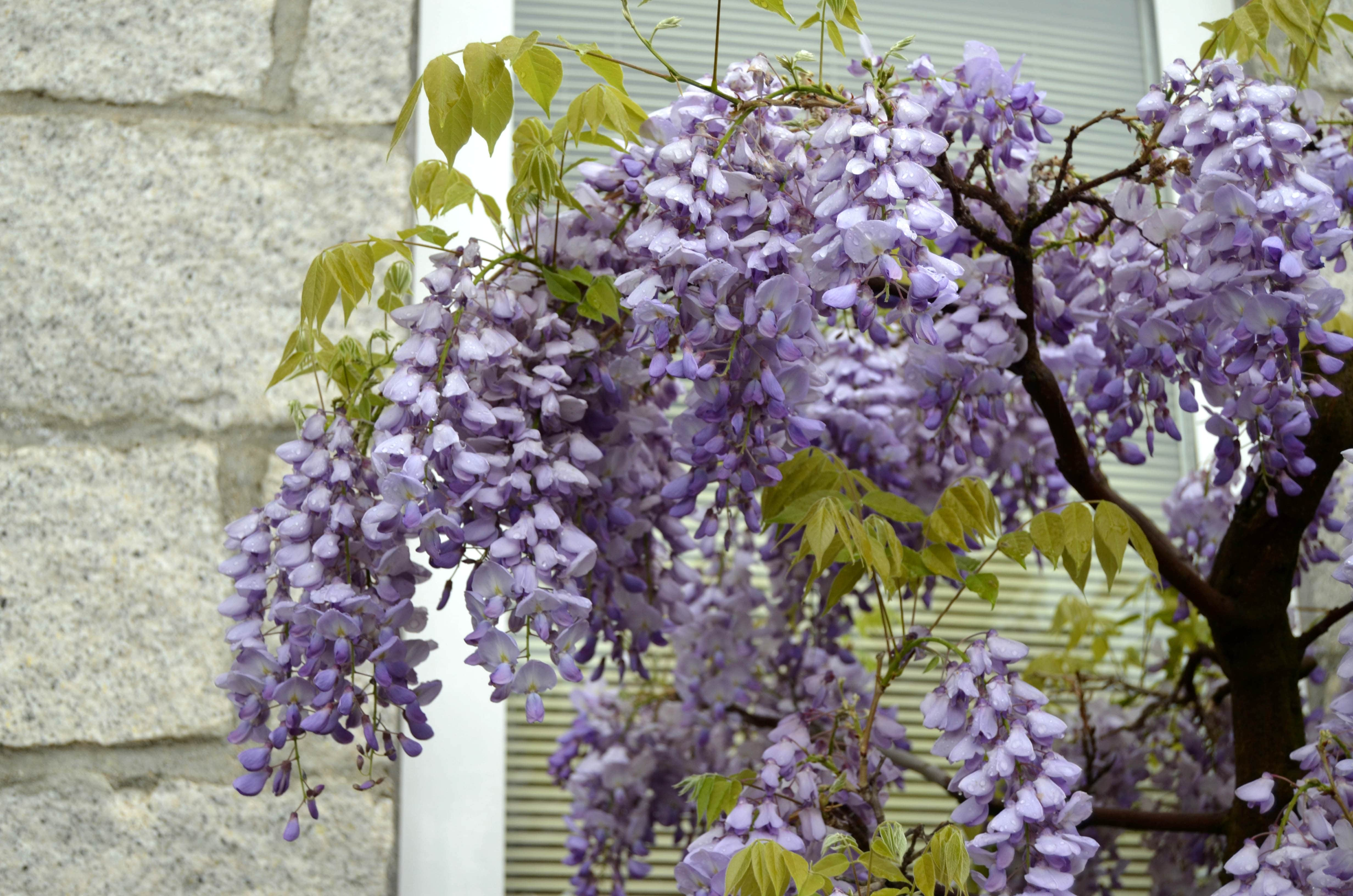 Wisteria cultivo como bons i blog bonsai colmenarblog for Glicina planta