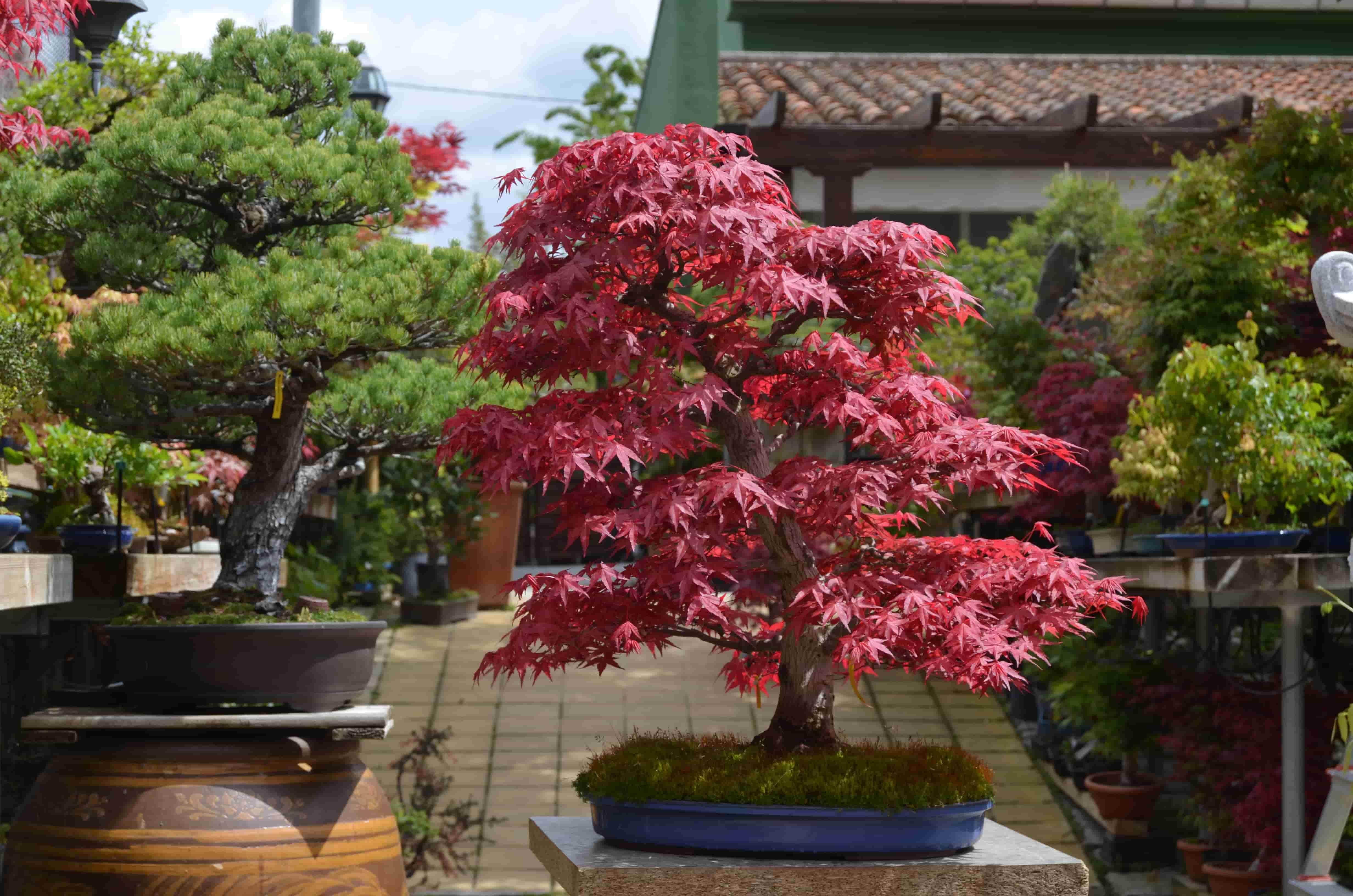 Acer Palmatum Deshojo Blog Bonsai Colmenarblog Bonsai Colmenar