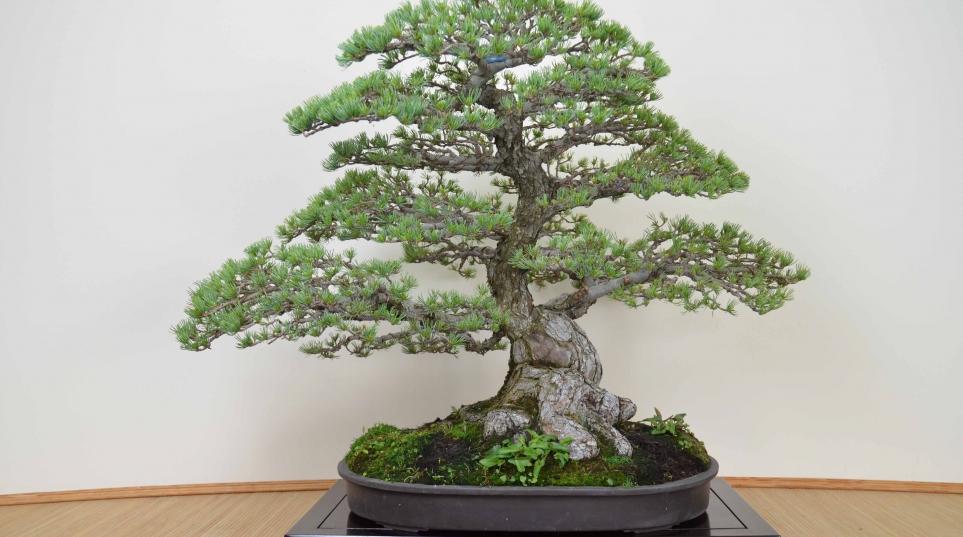 La respuesta al cultivo blog bonsai colmenarblog bonsai - Cultivo de bonsai ...