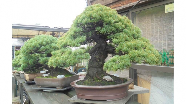 Soukouen ii jard n de bons is blog bonsai - Jardin de bonsais ...